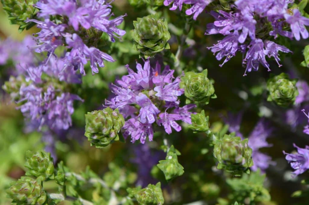 The Kytherian Thyme